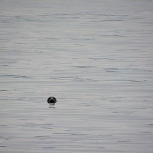 Een zeehond gespot bij het eiland Arran