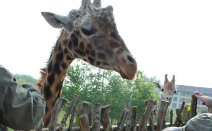 Giraffen voeren in Chessington World, Engeland.