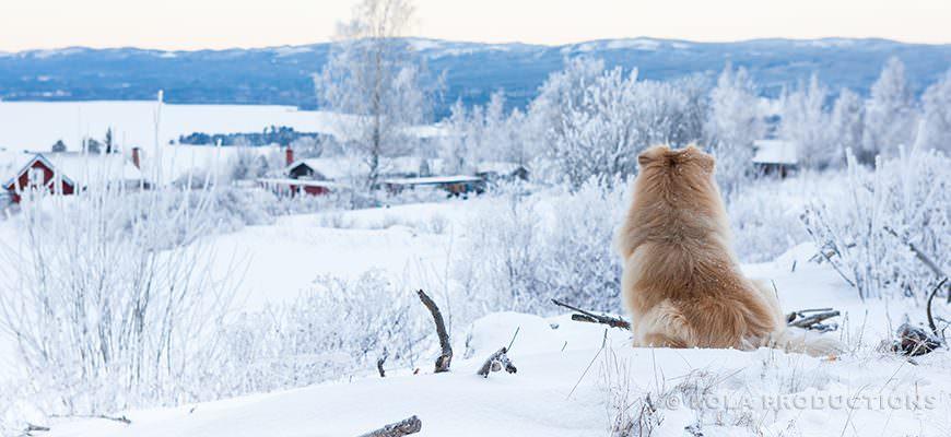 Finse laphond in Siljan