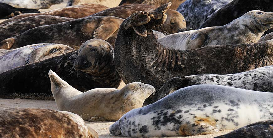 Zeehonden kolonie bij Blakeney Point